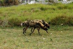 行动的非洲豺狗戒备 图库摄影