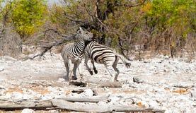 行动被射击2匹斑马战斗 免版税库存照片