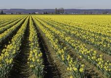 黄水仙行在Skagit谷,华盛顿的 免版税库存照片