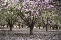 行开花与桃红色和白花的扁桃在果树园 免版税库存照片