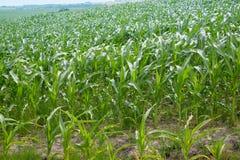 行甜玉米玉米生长在领域在夏天 免版税库存照片
