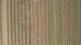 行的圆白菜植物在农田,鸟瞰图 股票视频