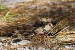 滑行的木材响尾蛇 免版税库存照片