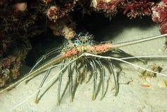 行程龙虾多刺的数据条 库存图片
