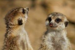行程meerkats后方身分二 免版税库存照片