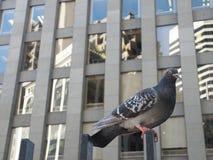街市鸽子 库存照片