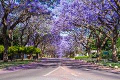 街道在比勒陀利亚标示用兰花楹属植物树 免版税库存图片