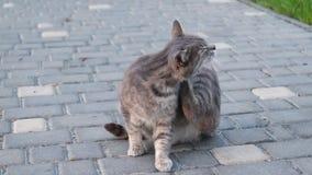 街道灰色猫l在街道上日间舔了 股票视频