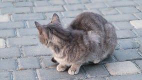 街道灰色猫l在街道上日间舔了 影视素材