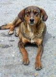 街道狗的画象 免版税库存图片