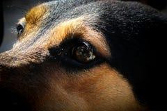 街道狗眼睛 库存照片