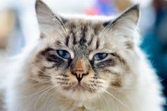 衣衫褴褛的儿童猫 免版税图库摄影
