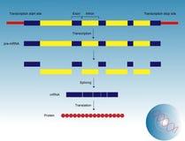 表达式基因 免版税库存照片