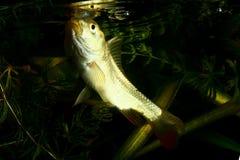 表面上的共同的鲤鱼游泳 免版税图库摄影