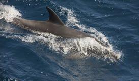 表面上的宽吻海豚游泳在开放海洋 免版税库存图片