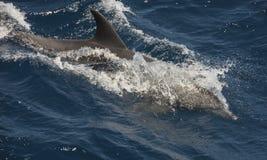 表面上的宽吻海豚游泳在开放海洋 免版税图库摄影