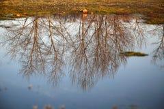 水表面上的树反射 免版税库存照片