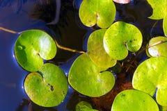 水表面上的Driftweeds叶子 免版税库存图片