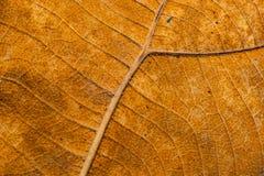 表面干燥棕色叶子纹理 免版税图库摄影