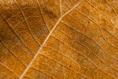 表面干燥棕色叶子纹理 免版税库存图片