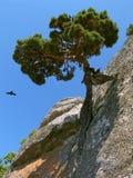 表面杉木岩石结构树 库存图片