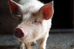 表面滑稽的猪 图库摄影