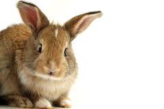 表面询问的兔子 免版税库存图片