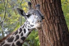 表面滑稽的长颈鹿 免版税库存图片