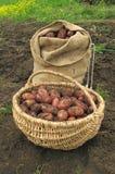 袋子篮子粗麻布新近地开掘了土豆 免版税库存照片
