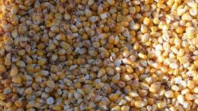 袋子黄色谷核 庄稼看法的被收获的玉米关闭 影视素材