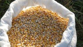 袋子黄色谷核 庄稼看法的被收获的玉米关闭 股票视频
