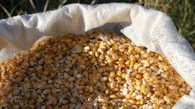 袋子黄色谷核 庄稼看法的被收获的玉米关闭 股票录像