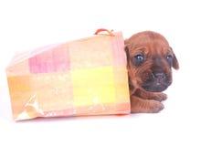 袋子rhodesian礼品的小狗 免版税库存图片