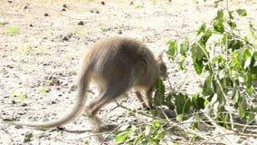 袋鼠吃在树的绿色叶子 免版税图库摄影