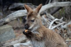 袋鼠吃 图库摄影