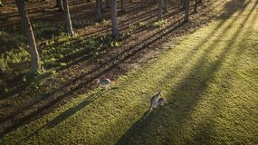 袋鼠和Joey早晨观看希望海岛,看coomera河的英属黄金海岸 免版税库存照片