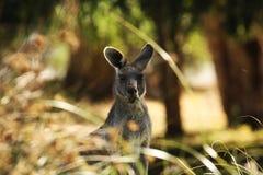 袋鼠哺养 免版税库存图片