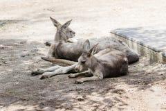 袋鼠在地面上的一个晴天说谎并且休息在集居区的Nir大卫澳大利亚动物园淦宗师,在以色列 免版税库存图片