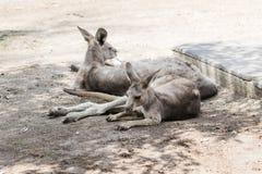 袋鼠在地面上的一个晴天说谎并且休息在集居区的Nir大卫澳大利亚动物园淦宗师,在以色列 免版税库存照片