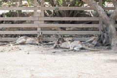 袋鼠在地面上的一个晴天说谎并且休息在集居区的Nir大卫澳大利亚动物园淦宗师,在以色列 图库摄影