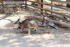 袋鼠在地面上的一个晴天说谎并且休息在集居区的Nir大卫澳大利亚动物园淦宗师,在以色列 库存图片