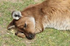 袋鼠放松 免版税图库摄影
