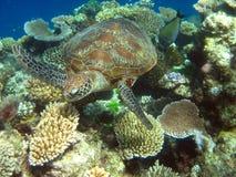袋鼠海岛,澳大利亚 基于树的考拉 库存照片