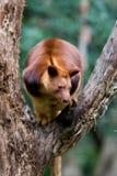 袋鼠结构树 库存图片
