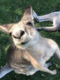 袋鼠逗人喜爱的面孔 免版税库存照片