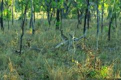 袋鼠,澳大利亚 免版税库存照片