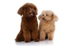 袖珍狮子狗狗隔绝了 免版税库存照片