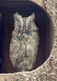 被上条纹的猫头鹰无生气的scops 免版税库存图片