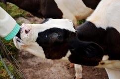 被人工喂养的小小牛 库存照片