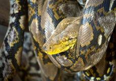 被仿造的皮肤Python 免版税图库摄影